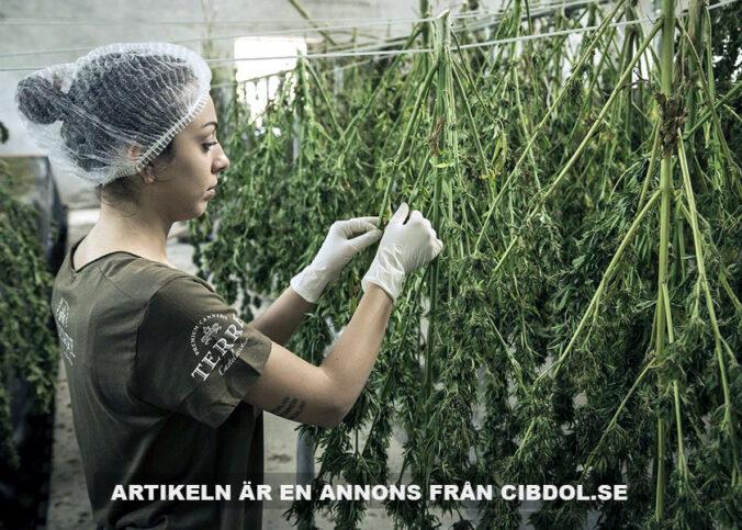 Cannabis, CBD oil. Foto: Terre Di Cannabis. Licens: Pixabay.com