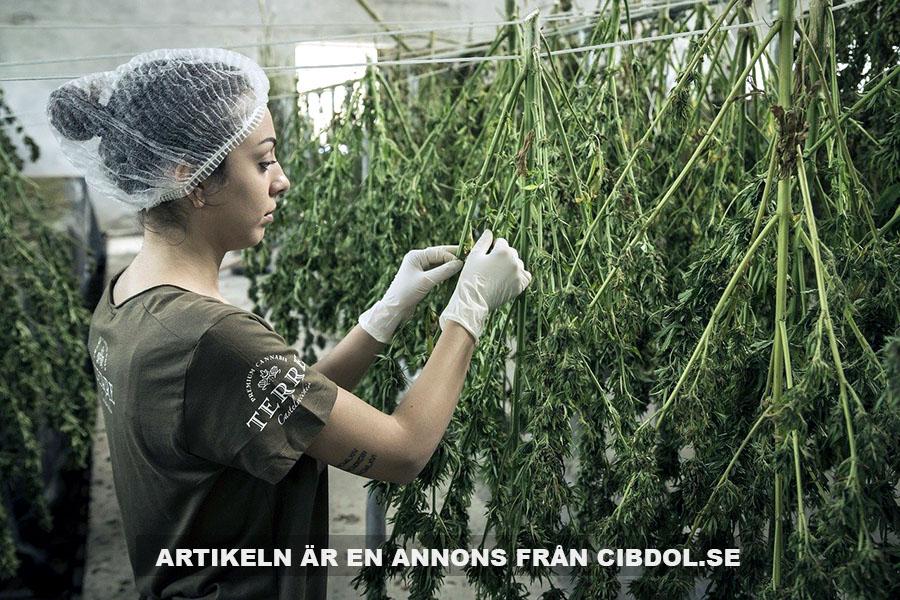 Fakta om cannabisolja. Foto: Terre Di Cannabis. Licens: Pixabay.com